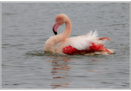 Flamant Rose  Toilette